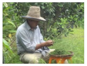 Growing Moxa in Thailand for Aromatherapy